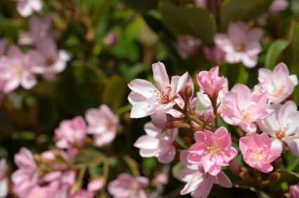 """Indian Hawthorne Flowers"""