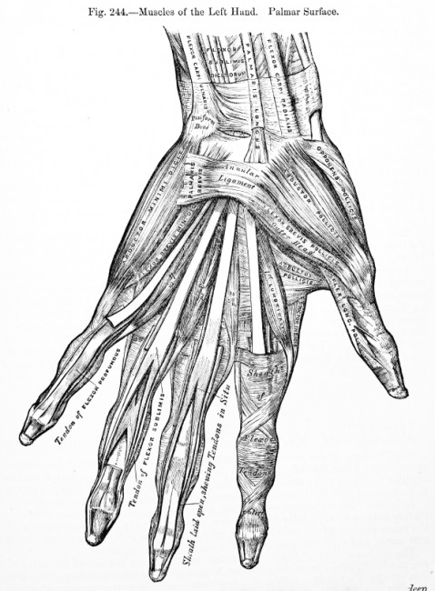 """Figure of muscles of the left hand"""